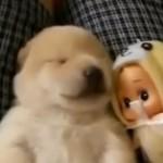 【動画】犬だって寝ぼけるし寝言も言います