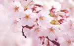 s_Sakura