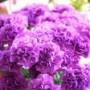 青いカーネーション【ムーンダスト】花言葉は○○で母の日にもオススメ!